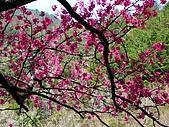 發現秀巒楓景的故事-2008-12-27:秀巒的山櫻-09-2-26-07.JPG