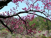 發現秀巒楓景的故事-2008-12-27:秀巒的山櫻-10-2-26-07.JPG