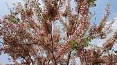 花旗木的故事-2018/4/4:DSC_0158.JPG