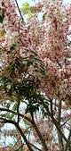 花旗木的故事:IMG20190330110635.jpg