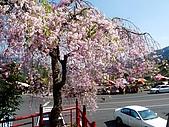 再見雨晴枝垂櫻~3/24/2010:P1260403-m.jpg