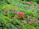 紅花石蒜與金花石蒜的故事:P1140839.JPG