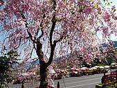 再見雨晴枝垂櫻~3/24/2010:P1260447-m.jpg