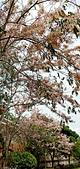 花旗木的故事:IMG20190330113309.jpg
