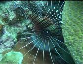 珊瑚礁裡的小海馬-10/26/2013:獅子魚.jpg