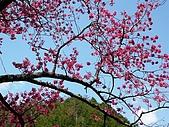 發現秀巒楓景的故事-2008-12-27:秀巒的山櫻-11-2-26-07.JPG