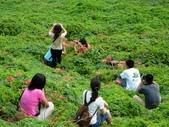 紅花石蒜與金花石蒜的故事:P1140843.JPG