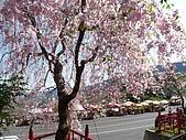 再見雨晴枝垂櫻~3/24/2010:P1260450-m.jpg