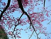 發現秀巒楓景的故事-2008-12-27:秀巒的山櫻-12-2-26-07.JPG