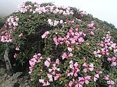 合歡山杜鵑的故事~5/22/2005:合歡主峰頂杜鵑花海-04.jpg