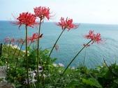 紅花石蒜與金花石蒜的故事:P1140862.JPG