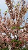 花旗木的故事-2018/4/4:DSC_0159.JPG
