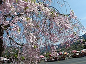 再見雨晴枝垂櫻~3/24/2010:P1260470-m.jpg