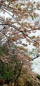 花旗木的故事:IMG20190330113152.jpg