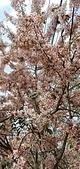 花旗木的故事:IMG20190330110627.jpg