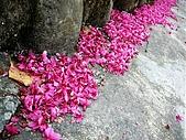 發現秀巒楓景的故事-2008-12-27:秀巒的山櫻-01-2-26-07.JPG