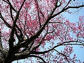 發現秀巒楓景的故事-2008-12-27:秀巒的山櫻-02-2-26-07.JPG