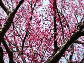 發現秀巒楓景的故事-2008-12-27:秀巒的山櫻-03-2-26-07.JPG