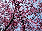 發現秀巒楓景的故事-2008-12-27:秀巒的山櫻-04-2-26-07.JPG
