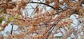 花旗木的故事:IMG20190330110706.jpg