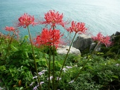 紅花石蒜與金花石蒜的故事:P1140866.JPG