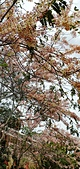 花旗木的故事:IMG20190330113238_01.jpg