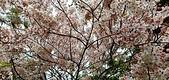 花旗木的故事:IMG20190330113426.jpg