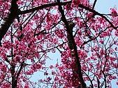 發現秀巒楓景的故事-2008-12-27:秀巒的山櫻-05-2-26-07.JPG