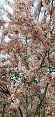 花旗木的故事:IMG20190330110624.jpg