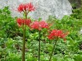 紅花石蒜與金花石蒜的故事:P1140869.JPG