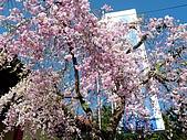 再見雨晴枝垂櫻~3/24/2010:P1260378-m.jpg