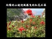 紅花石蒜與金花石蒜的故事:Slide26.JPG