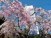 再見雨晴枝垂櫻~3/24/2010:P1260380-m.jpg