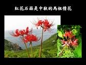紅花石蒜與金花石蒜的故事:Slide27.JPG
