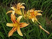 金針山上的另一個故事~8/21,22/2010:新品種-金針花-1.jpg