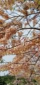 花旗木的故事:IMG20190330110701.jpg