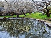 信義鄉同富村梅花-2020-3:烏松崙石家梅園也有池映梅花林