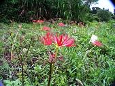 紅花石蒜與金花石蒜的故事:津沙村-紅花石蒜-1.jpg