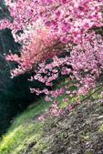 1070212-武陵農場櫻花季:IMG_9651.jpg