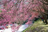 1070212-武陵農場櫻花季:IMG_9668.jpg