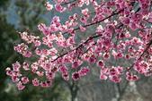 1070212-武陵農場櫻花季:IMG_9650.jpg