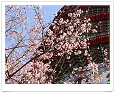 天元宮賞櫻:DSC03017.jpg