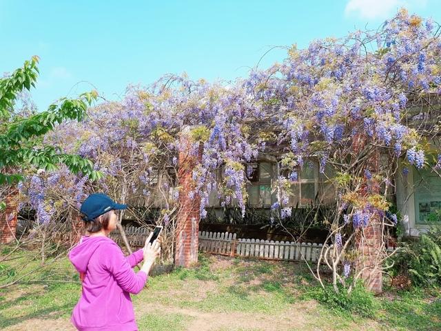 2018-03-25-09-28-07.jpg - 2018陽明山櫻花季