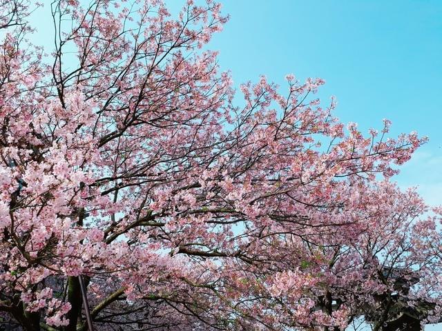 2018-03-25-08-52-15.jpg - 2018陽明山櫻花季