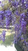 2018林口大湖公園紫藤花季:20180329_081355.jpg