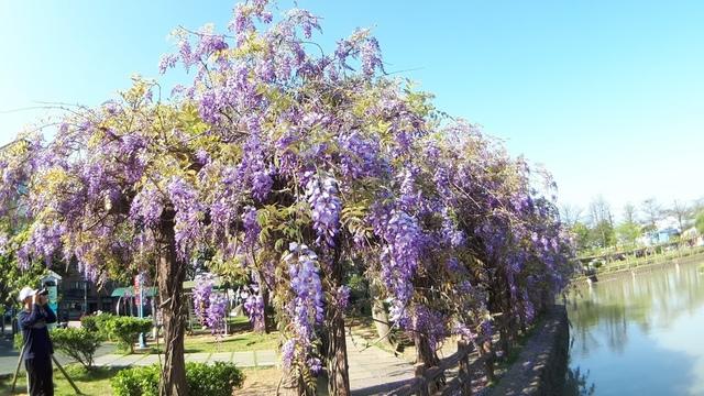 20180329_082217.jpg - 2018林口大湖公園紫藤花季