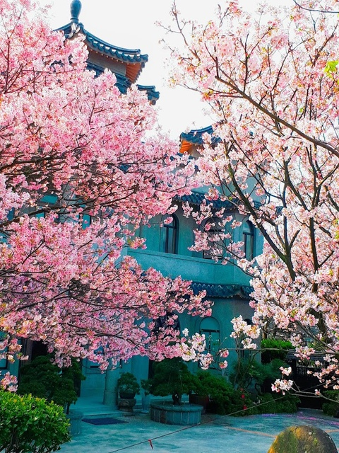 2018-03-25-08-56-14-EFFECTS.jpg - 2018陽明山櫻花季