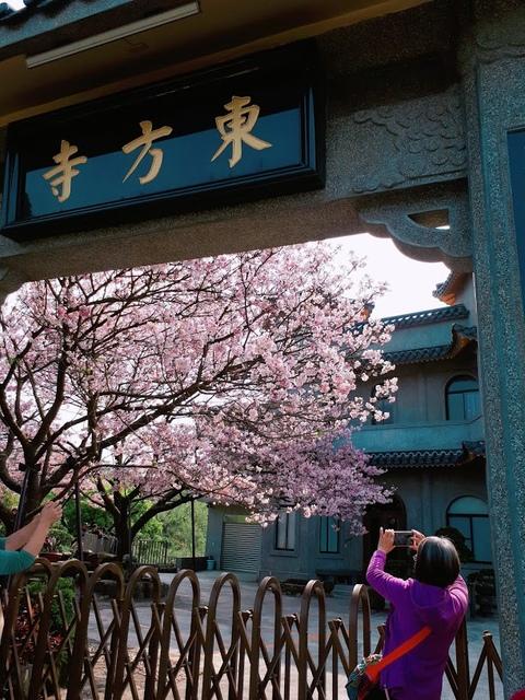 2018-03-25-08-59-30.jpg - 2018陽明山櫻花季