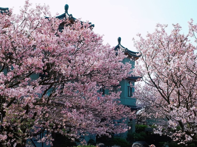 2018-03-25-08-55-59.jpg - 2018陽明山櫻花季