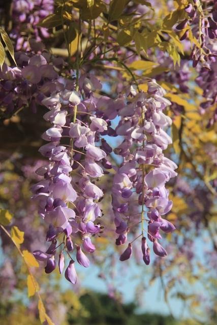 LRG_IMG_5785.JPG - 2018林口大湖公園紫藤花季